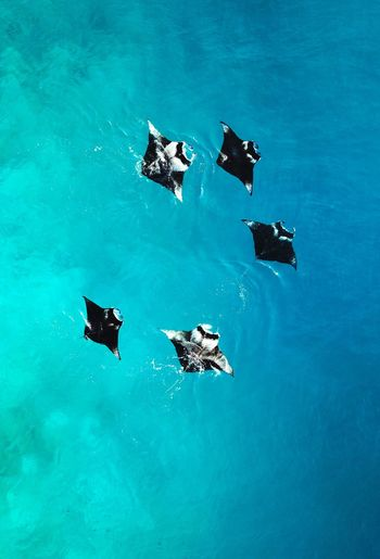 Manta ray Maldives Travel Drone  Love Wallpapers Manta Ray Manta Water Blue High Angle View Sea Nature No People Day Animal Themes Waterfront Turquoise Colored Beauty In Nature Animal Wildlife Outdoors Swimming