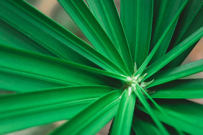 Close up umbrella plant, papyrus, cyperus alternifolius l.