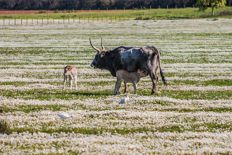 Maremma field with white flowers and buffalo cows Bird