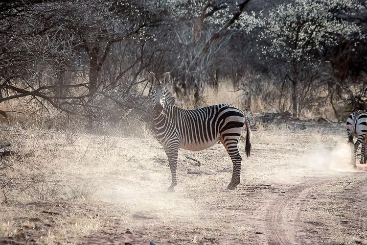 Zebra standing on a field