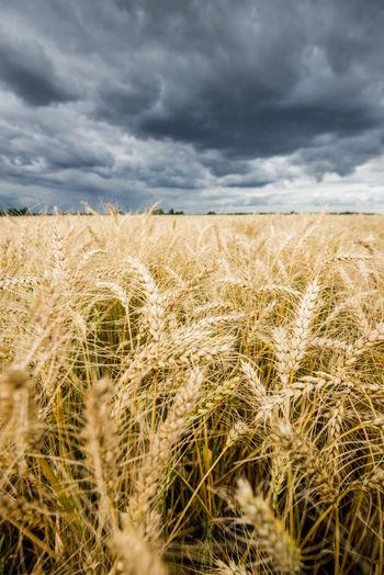 Wheat field against cloudy sky