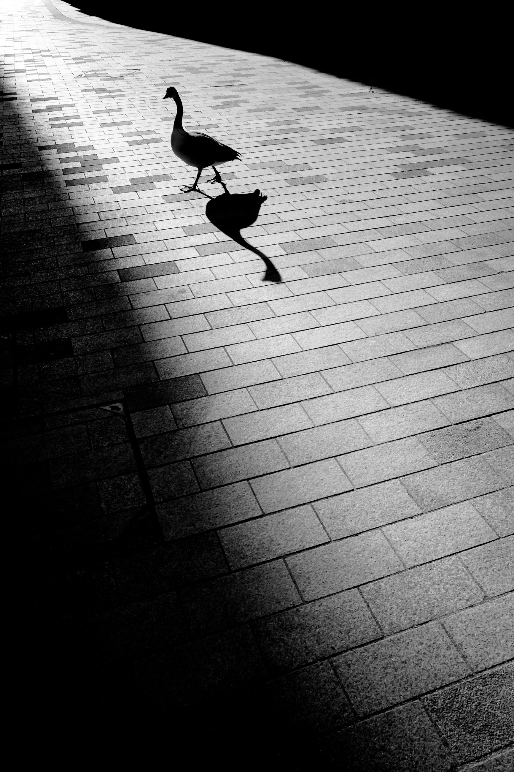 vertebrate, animal themes, bird, animal, animal wildlife, animals in the wild, one animal, no people, day, nature, flying, spread wings, sunlight, outdoors, high angle view, silhouette, footpath, shadow, water, seagull, paving stone