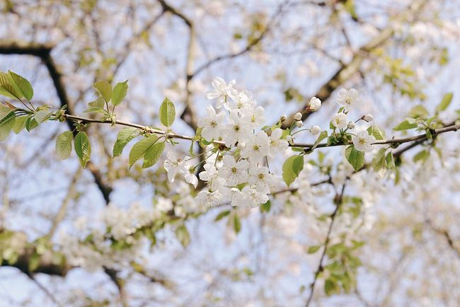 Cherry Blossom Spring Plant Tree Fragility Growth Beauty In Nature Flower Vulnerability