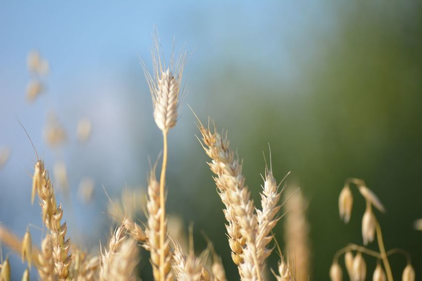 Wheat Close-up Plant Nature Tranquility Agriculture Cereal Cloud Wheat Autumn Barley Blue Bread Background Countryside Crop  Farm Field Food Grow Gold Yellow Grain Harvest Land