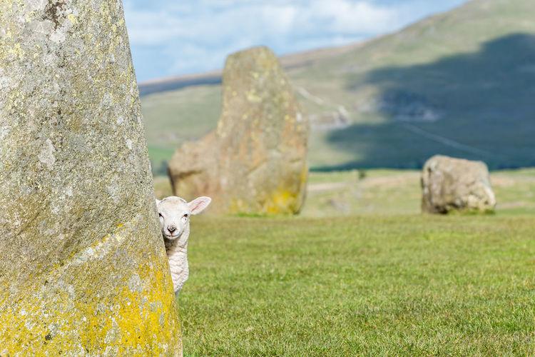 A lamb is