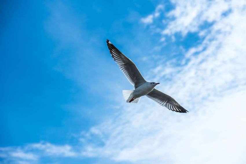 Seagulls fly above the sky on a beautiful blue sky background. Animal Themes Animals In The Wild Beauty In Nature Bird Cloud - Sky Day Flying Mid-air Nature No People Outdoors Sky Spread Wings