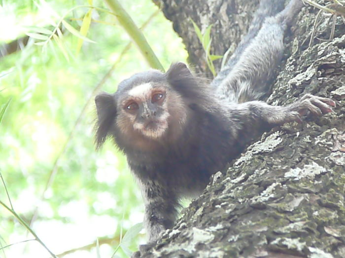 Makaken Brasil Jundaí Beautiful Nature Robber Tree Lemur Raccoon Portrait Looking At Camera Branch Cute Animal Hair Forest Close-up