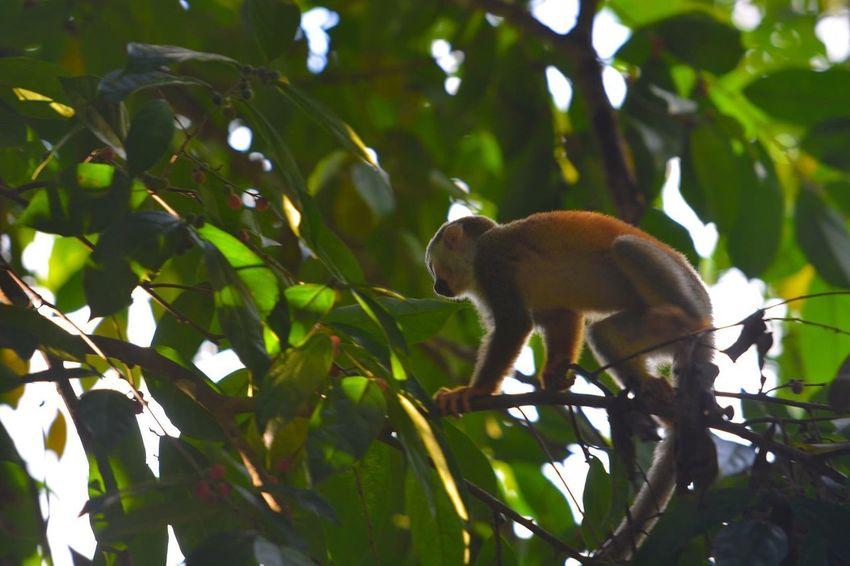 Costa Rica Manuel Antonio Monkey Photo Photography Photooftheday Nikon Nikonphotography D7100