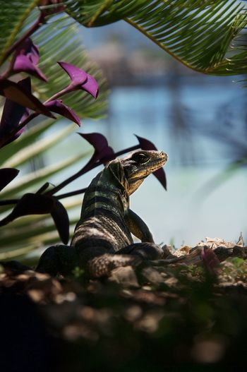 Iguana au Mexique Reptile Animal Themes Animals In The Wild One Animal Nature Animal Wildlife Beauty In Nature Iguana Lezard Mexico First Eyeem Photo