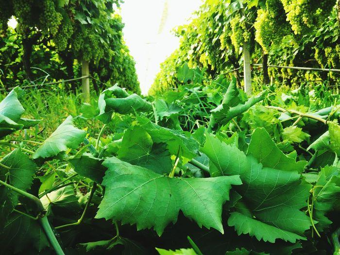 @ Kavala In Greece  Kavala Green Green Green!  Things That Are Green Greenlove MyGreenLove💚 Greenleaves Work Farmer's Life