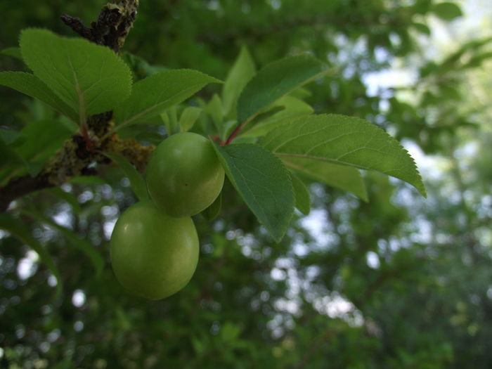The first plums