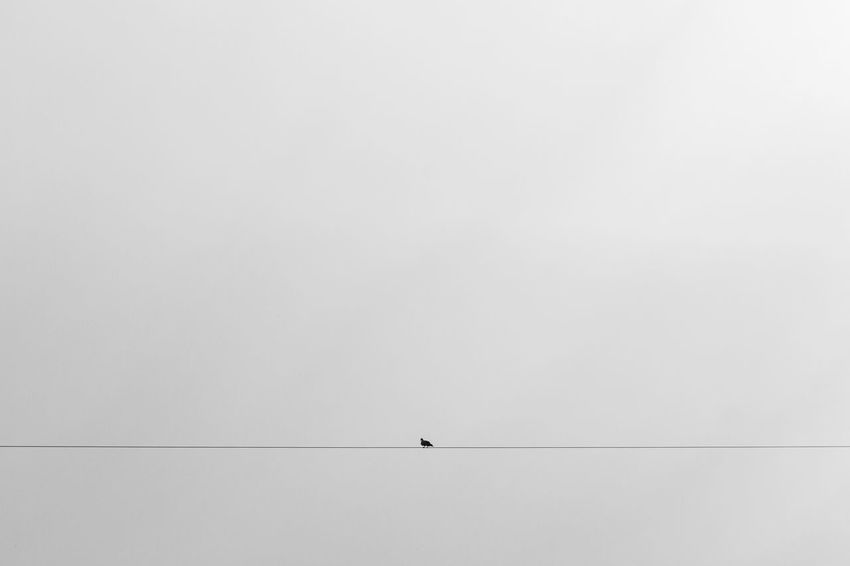 Animal Animal Themes Animal Wildlife Animals In The Wild Beauty In Nature Bird Cable Copy Space Day Distant Fog Minimal Minimalism Monochrome Nature One Animal Outdoors Silhouette Sky Sparse Vertebrate