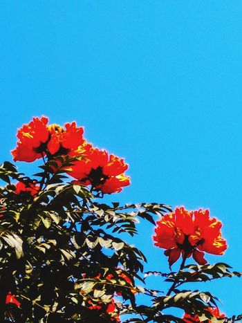 RED FLOWERS AND BLUE SKY... Flower Fragility Flower Head Petal Growth Freshness Nature Beauty In Nature Blue Low Angle View Blooming Day Sky Clear Sky Springtime