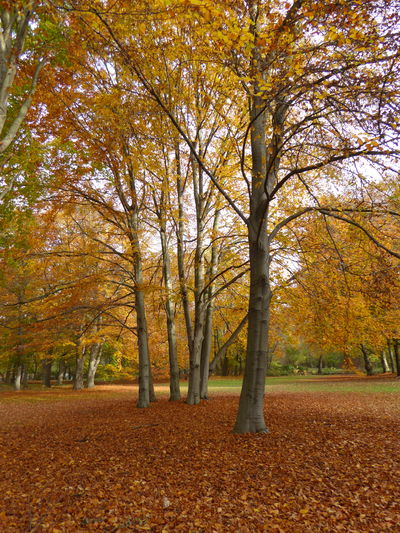 Autumn Beauty In Nature Berlin In Autumn Fallen Leaves Forest In Berlin Germany Leaf Multi Colored Mustard Colours No People Orange Color Scenics Tranquil Scene Tranquility Tree Yellow