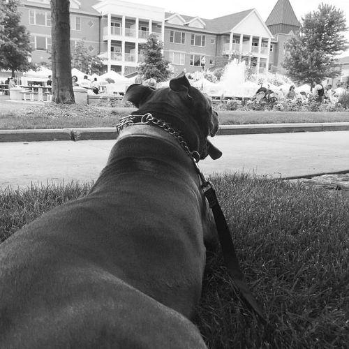 Blue City Dog Dogs Outdoors Pitbull Tessathepitbull