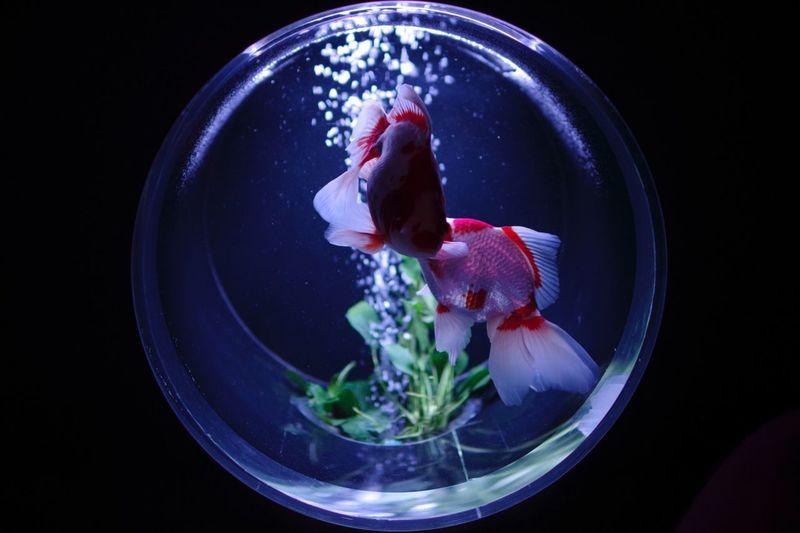 ナイトアクアリウム〜その3〜 Night Aquarium Aquarium Photography Gold Fish