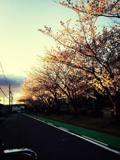 桜並木を君と。。。そして小さい手の君も。。。大切にしなきゃな。