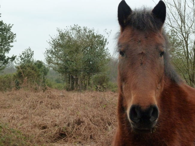 Domestic Animals Field Grass Grazing Horse Livestock New Forest Pony New Forest, Hampshire. UK Outdoors