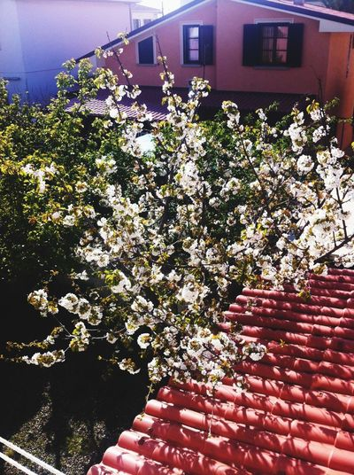 Garden Cherry Blossoms Spring Cherry Tree