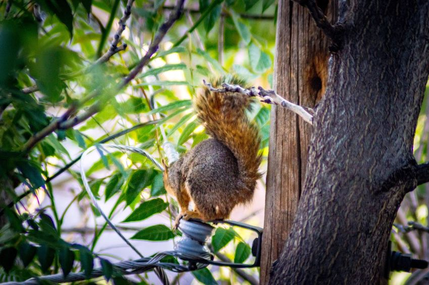 Fox squirrel on power lines Fox Squirrel Mammal Outdoors Outdoors Life Squirrel Life Fox Squirrel On Power Lines Green Leaves Nature In The City EyeEm Selects Animal Wildlife Animals In The Wild Animal Themes Animal Tree One Animal Plant Outdoors Nature