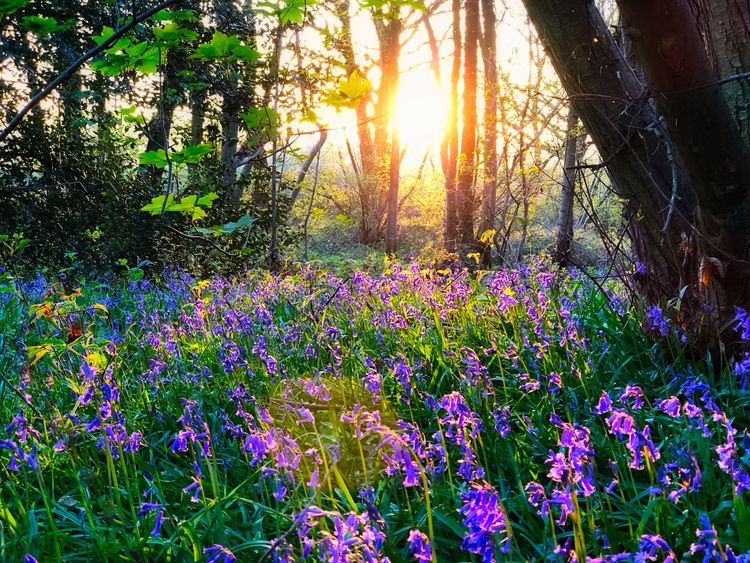 Spring Bluebells in evening light Bluebells In The Woods Bluebells Plant Beauty In Nature Growth Flowering Plant Flower Tree Nature Sun Sunlight No People Tranquility Sky Land Freshness Vulnerability  Fragility Day Lens Flare Sunbeam Sunset