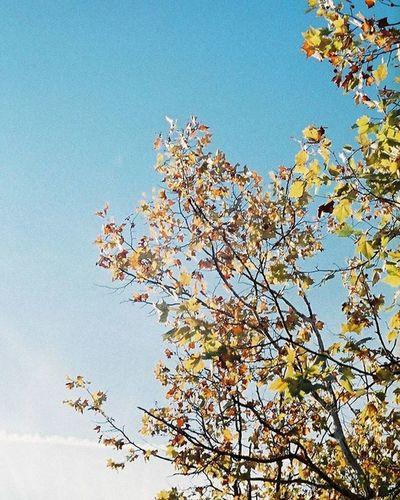 Fujifilm Olympuspeneed Myolympusstyle Film Filmphotography Superiapremium400 Halfsizecamera Bluesky Tree Filmcamera Olympus倶楽部 オリンパス倶楽部 オリンパスペンEED フィルム写真普及委員会 フィルム写真 フィルムに恋してる フィルム ふぃるむカメラ フィルム部 ハーフサイズカメラ 写真好きな人と繋がりたい ファインダー越しの私の世界 カメラ日和 お写んぽ スペリアプレミアム400 富士フイルム オリンパスPENEED 木 カメラ好きな人と繋がりたい