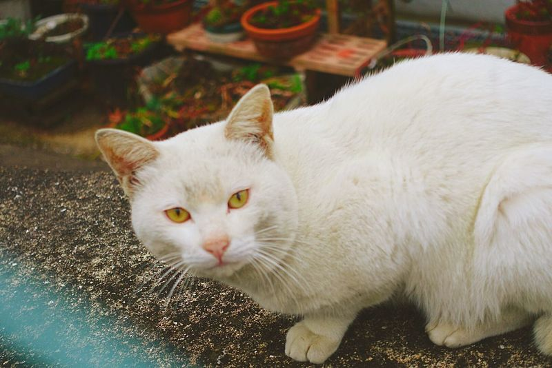 カメラ目線ありがとう🎵 One Animal ねこ Cat のらねこ部 野良猫 猫 Cats White Hello World Cat♡ もち お餅 Animal Portrait Animals In The Wild Animal Themes Close-up Outdoors Day White Color Mammal Photography Looking At Camera No People Nature