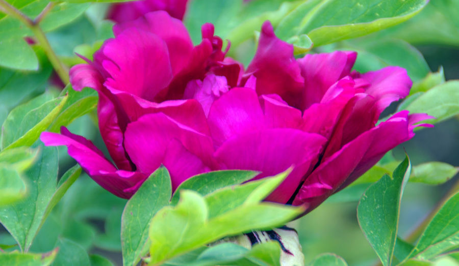 Creativity Flowers,Plants & Garden Paeonia Paeoniaceae Beauty In Nature Beauty In Nature Bloom Blooming Close-up Creative Day Flower Flower Head Fragility Freshness Growth Leaf Nature No People Outdoors Paeonia Lactiflora Petal Pink Color Plant