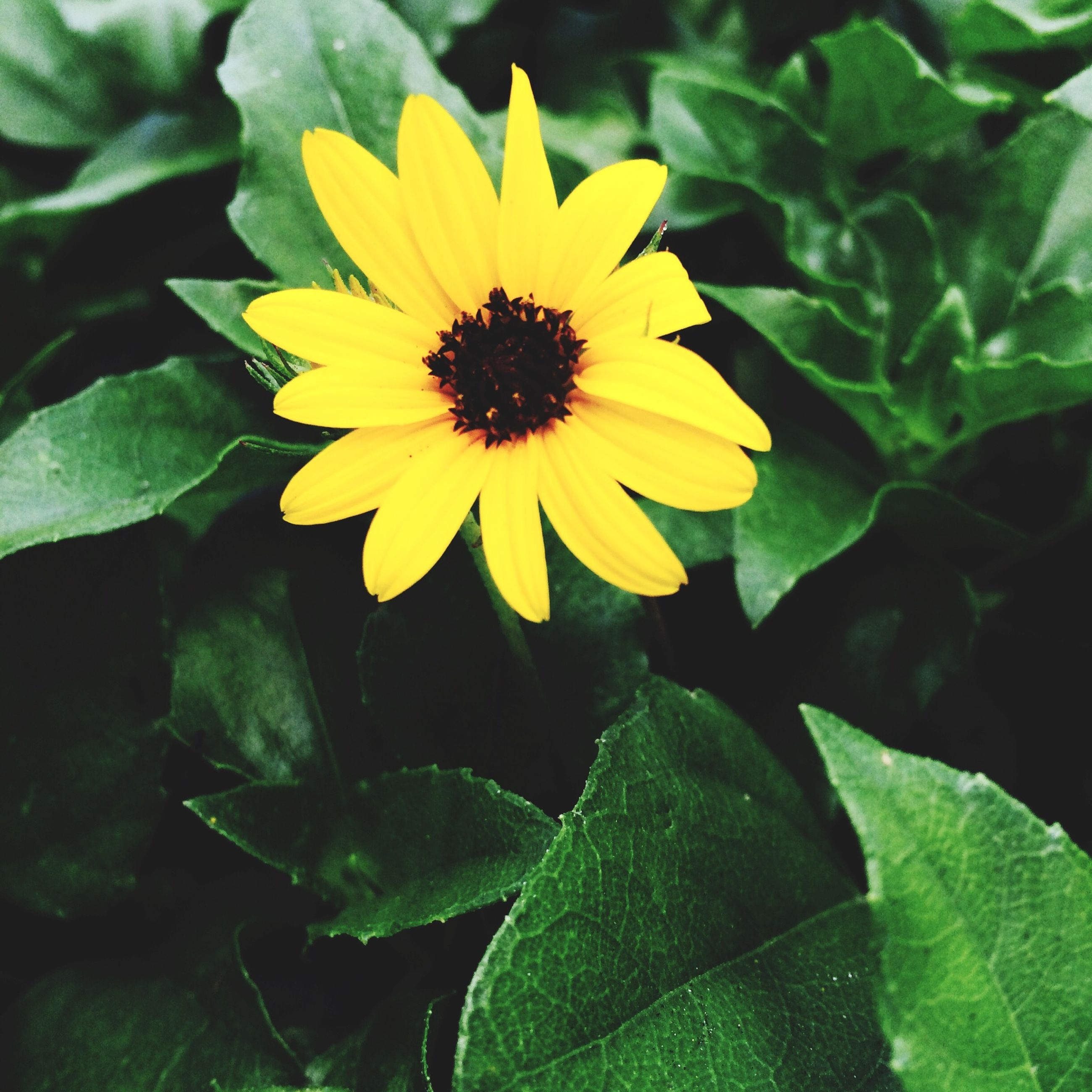 flower, petal, freshness, yellow, flower head, fragility, growth, beauty in nature, leaf, blooming, plant, nature, close-up, pollen, single flower, in bloom, sunflower, green color, blossom, focus on foreground