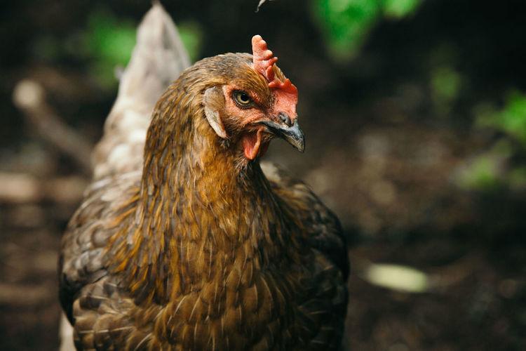 Farm Farm Animals Animal Bird Chicken - Bird Domestic Healthy Eating Nature Sustainability