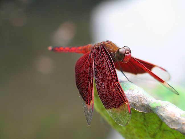 Dragonfly Insect Animal Themes One Animal Animals In The Wild Red Focus On Foreground Day Animal Wildlife No People Nature Outdoors Close-up Fragility Beauty In Nature