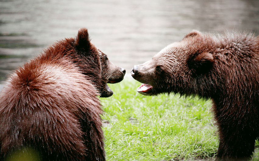 Bears with mouth open at lakeshore