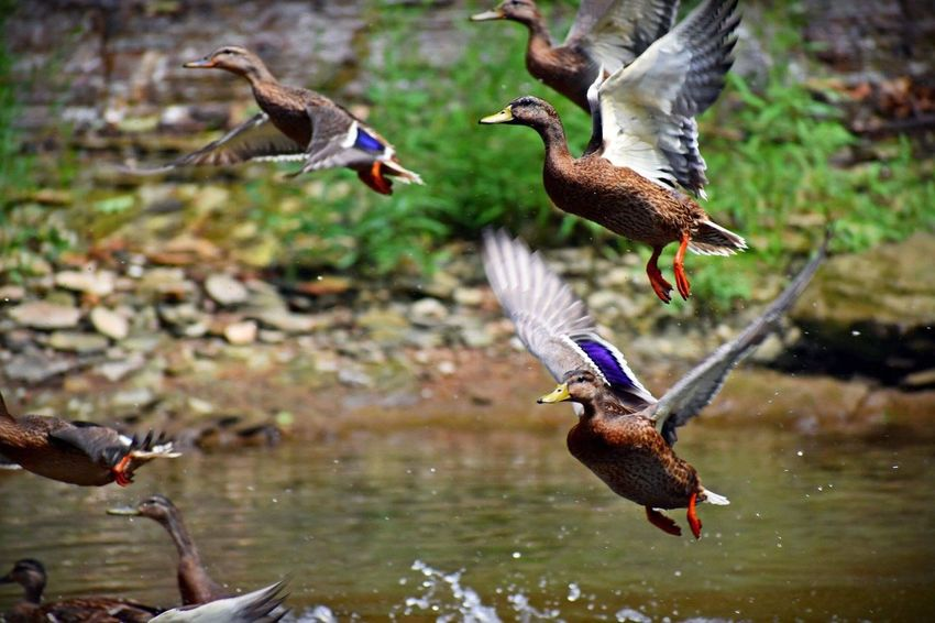 Fly away Bird Animal Themes Animal Animal Wildlife Vertebrate Animals In The Wild Flying No People Mid-air Motion Nature Water Two Animals Outdoors Day Flapping Focus On Foreground Group Of Animals Spread Wings Duck