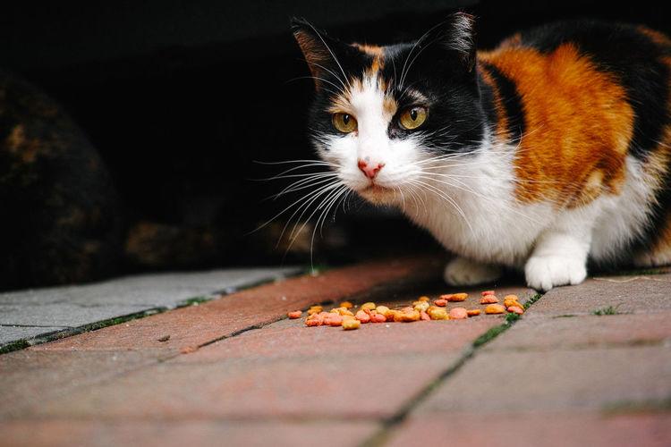 Tortoiseshell cat on street
