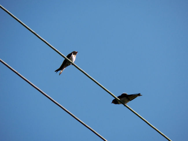 Two swallows shooted against blue sky Two Swallows Lines Diagonals Birds Two In France 4x3photography Blue Clear Sky Sky