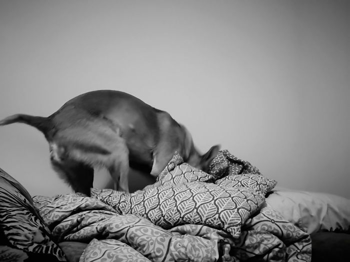 Rescuedog Dog Bed Playing Digging Digging Dog Playing Dog Making The Bed Podenco Blackandwhite EyeEm Selects Close-up Pet Bed Domestic Animals Pets