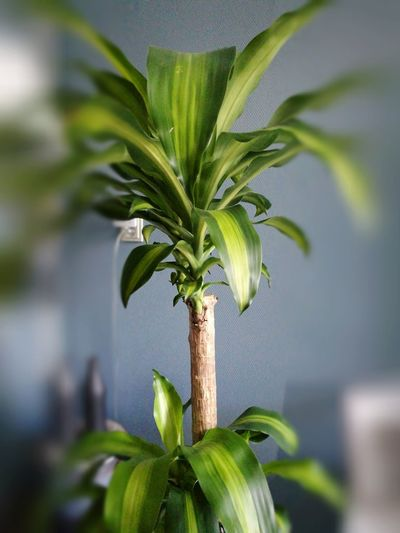 Just a plant with some edit, on a picture 😊 No People Selective Focus Agriculture Day Leaf Green Color Close-up Outdoors Flower Food Nature Freshness HuaweiP9 Plus Photography Edit Picture Background Blue Gray Background Tilt Shift Effect The Still Life Photographer - 2018 EyeEm Awards