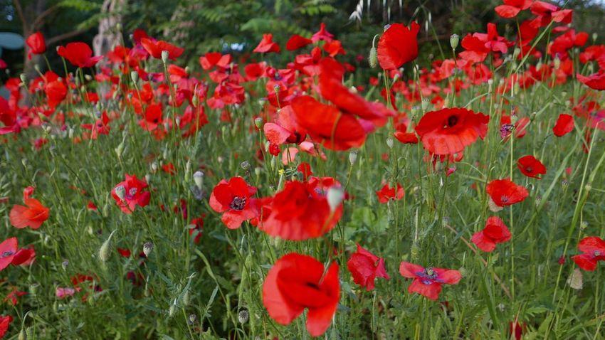 Vegetation Field Popies