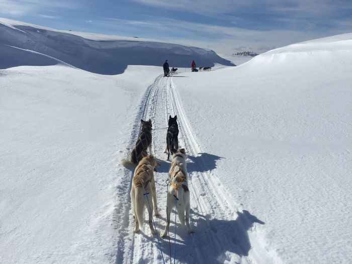 Snow Cold Temperature Winter Nature Adventure Outdoors Norway Alskian Husky