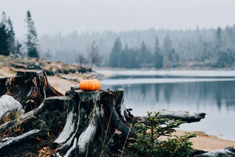 View of pumpkins on foggy day