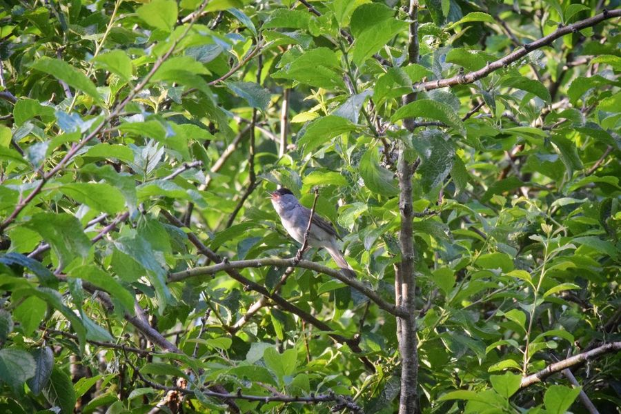Black Cap singing Bird Tree Branch Nature Outdoors Wildlife Photography Nature Bird Song Black Cap Singing Nature Reserve