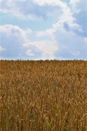 Tranquility Cereal Plant Growth Plant Nature Beauty In Nature Rural Scene Farm Agriculture Field Landscape Land Crop  No People Outdoors Tranquil Scene Sky Cloud - Sky Wheat Plantation Environment Day Scenics - Nature