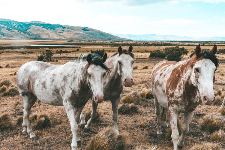 Patagonian horses on the field, near el calafate
