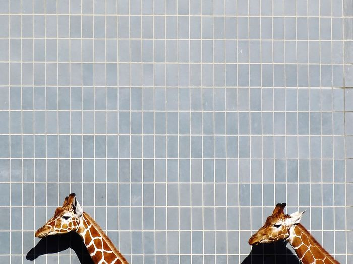 Giraffe head against tiled wall