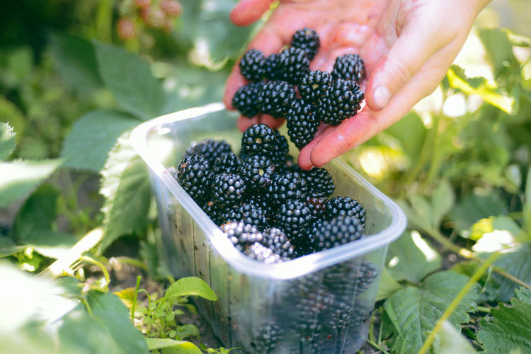 Berry Fruit Blackberry - Fruit Day Finger Food Food And Drink Freshness Fruit Green Color Growth Hand Healthy Eating Holding Human Body Part Human Hand Leaf Nature One Person Organic Outdoors Plant Part Real People Ripe Wellbeing