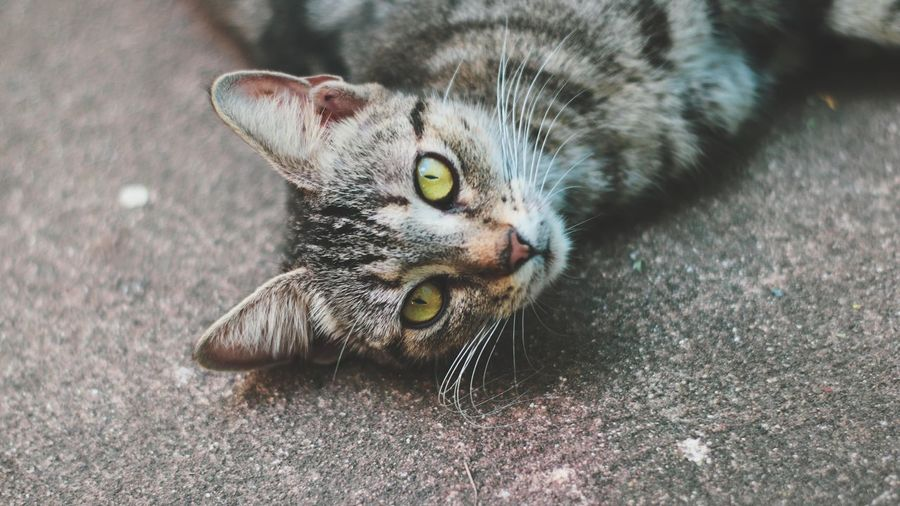 Beautiful eyes! Pets Portrait Domestic Cat Looking At Camera Close-up Kitten Carnivora Whisker Tabby Cat Feline Leopard Persian Cat  Tabby Ginger Cat Undomesticated Cat Tortoiseshell Cat Siamese Cat Maine Coon Cat Yellow Eyes At Home Young Animal Pet Bed Stray Animal Big Cat Cat