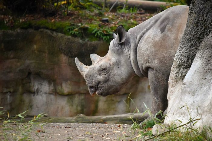 One Animal Outdoors Animals In The Wild Animal Themes No People Animal Wildlife Mammal Nature Day Captivity Animals In Captivity Animal Photography Zoo Animals  Rhino Rhinoceros Animals Animal Protect Nature Rescued Zoo Zoology Zoo Animals  Zoophotography Rhinos Horn