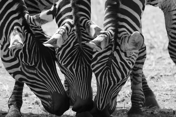 Blackandwhite Photography Tarangire National Park Tarangire Tanzania Safari EyeEmNewHere Striped Zebra Animals In The Wild Animal Wildlife Outdoors No People Nature