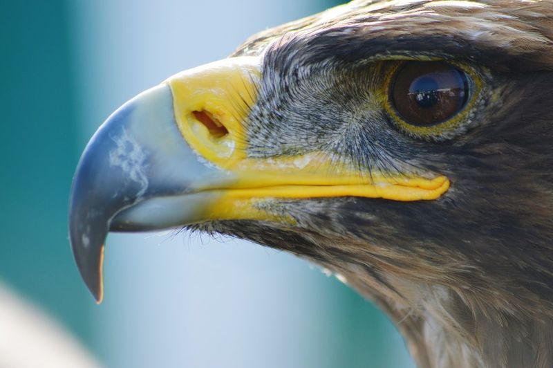 Close-Up Of Golden Eagle Outdoors