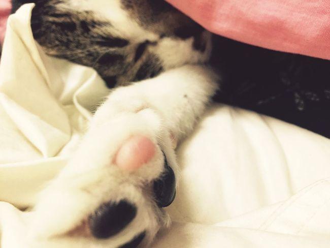 Cat Meatballs 貓 肉球